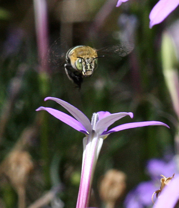 Face view of Blue Banded Bee & Isotoma