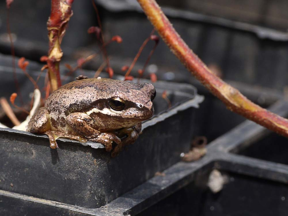 Brown Tree Frog on FOWSP tube