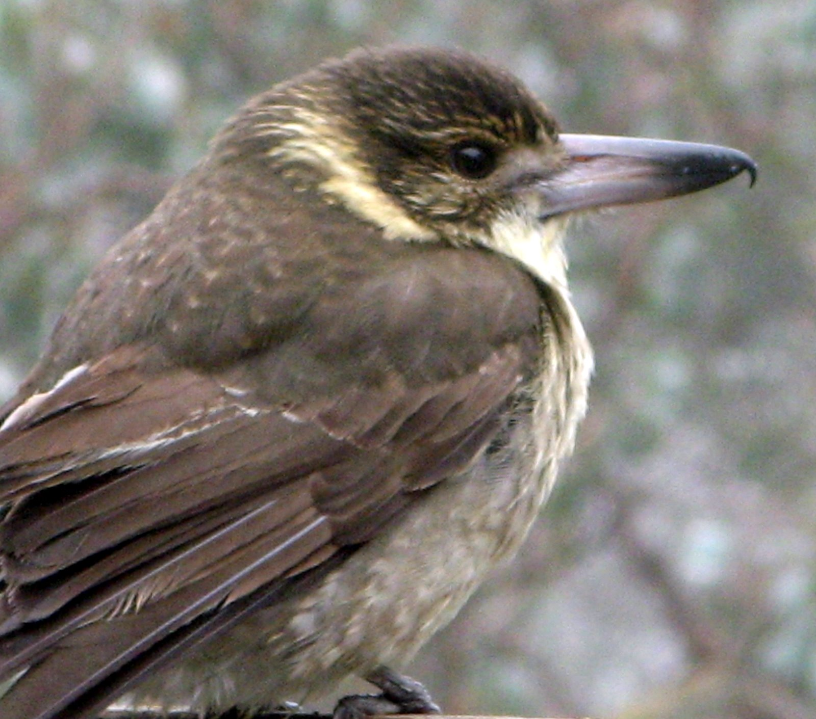 Jan Tindales Butcherbird