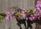 Native Blue Banded Bees love the Lythrum