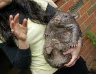 Peggy the wombat