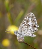 Saltbush Blue Theclinesthes serpentata